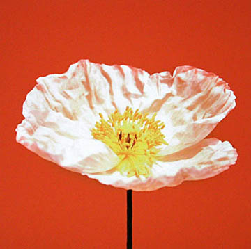 White Poppy on terra-cotta