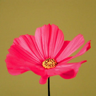 Pink Zinnia on olive by Judith Gigliotti