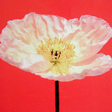 White Poppy on Orange