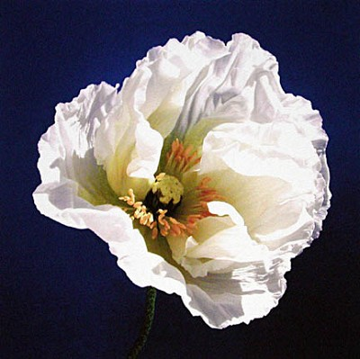 White Poppy on Blue